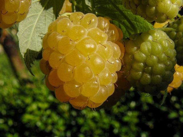 žluté maliny