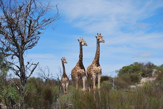 rodina žiraf.jpg