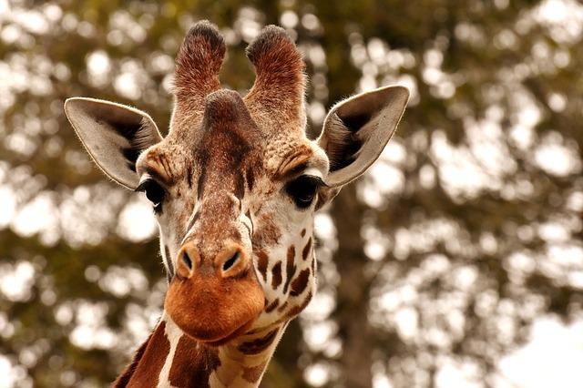 hlava žiraf.jpg