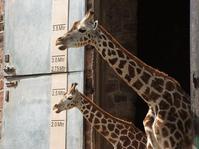 měření žiraf.jpg