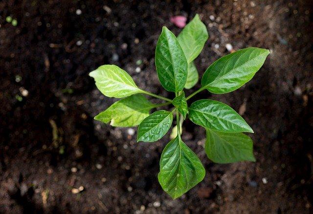 rostlinka papriky